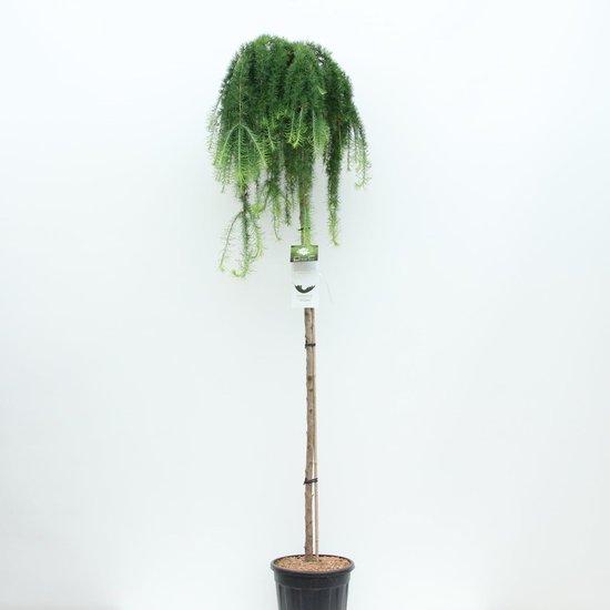 Larix kaempferi Stiff Weeping trunk - total height 200+ cm - pot 18 ltr