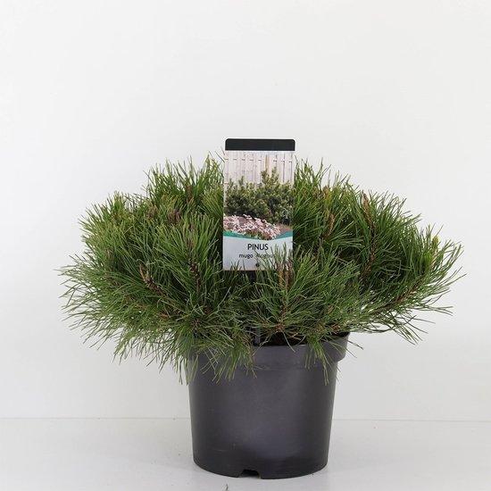Pinus mugo mughus - total heigth 40-50 cm - pot 3 ltr
