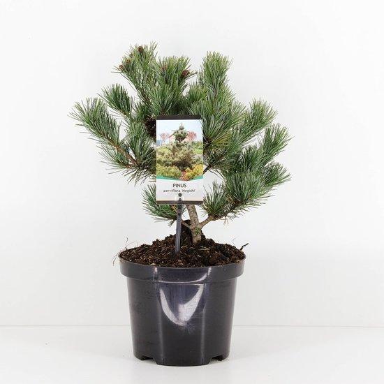 Pinus parviflora Negishi - total height 50-60 cm - pot 5 ltr