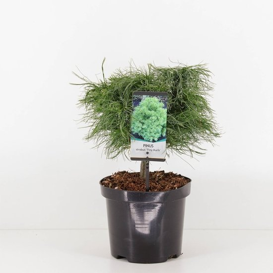 Pinus strobus Tiny Kurls - total height 40-50 cm - pot 3 ltr