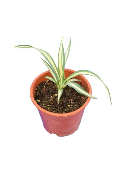 Yucca filamentosa Gold Heart - total height 15-20 cm -  pot Ø 14 cm