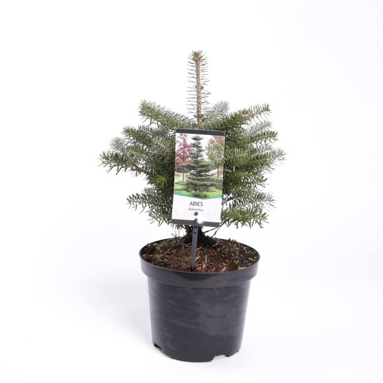 Abies koreana - total height 40-50 cm - pot Ø 19cm / 3 ltr