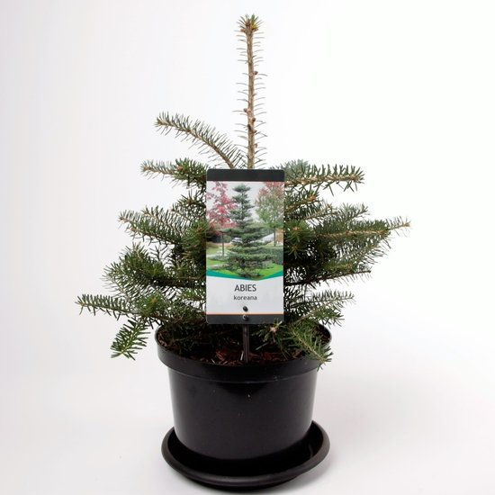 Abies koreana - total height 50-60 cm - pot 5 ltr