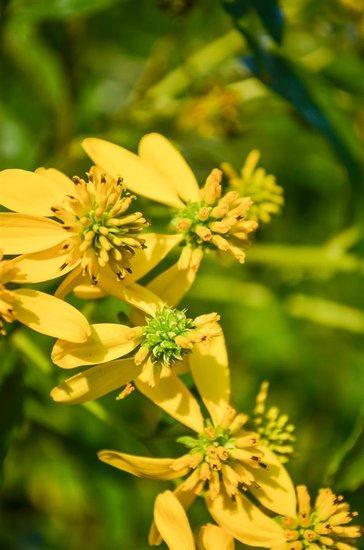 Verbesina alternifolia P9