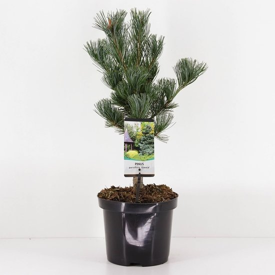 Pinus parviflora Glauca - total height 50-60 cm - pot 3 ltr