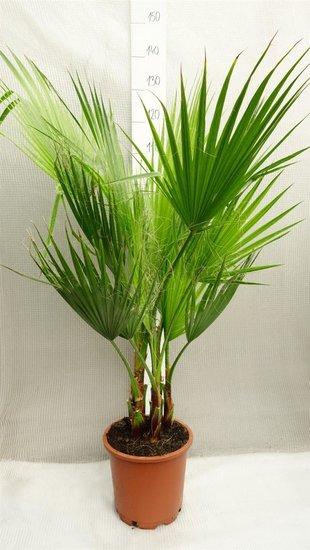 Washingtonia robusta Multitrunk pot Ø 26cm - total height 120-140 cm