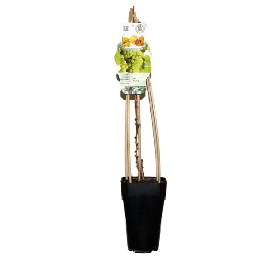 Vitis Riesling - total height 60-80 cm - 2 ltr pot