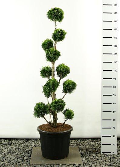 Chamaecyparis lawsonia Stardust Multibol - total height 200-225 cm [pallet]