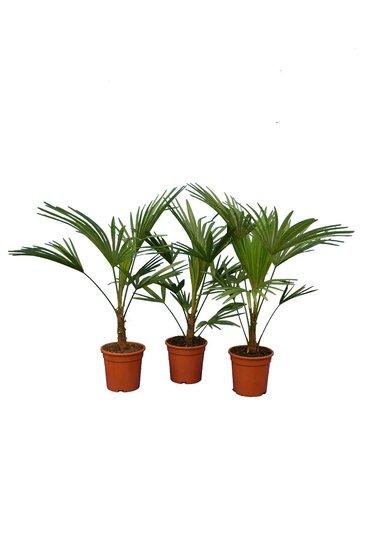 Trachycarpus sp. Nova - total height 80-100 cm - pot Ø 21 cm - set of 3
