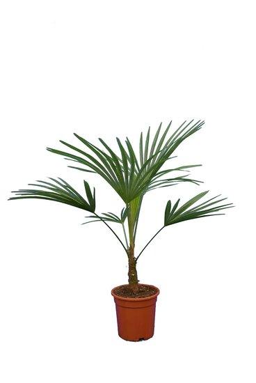 Trachycarpus sp. Nova - total height 80-100 cm - pot Ø 21 cm
