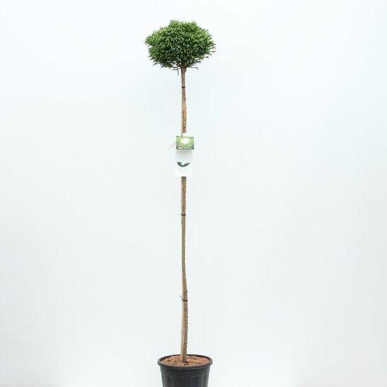 Cryptomeria japonica Little Champion trunk - total heigth 200+ cm - pot 18 ltr [Pallet]