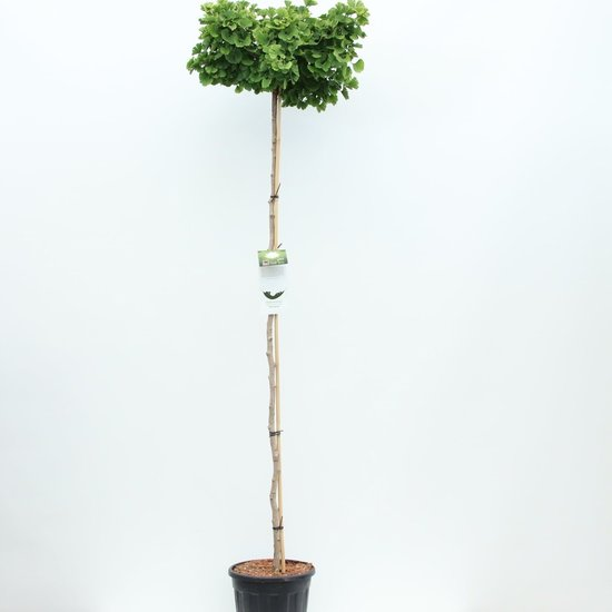 Ginkgo Biloba trunk - total height 200+ cm - pot 18 ltr [Pallet]