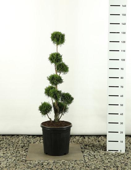 Thuja occidentalis Golden Smaragd Multibol - total height 80-100 cm