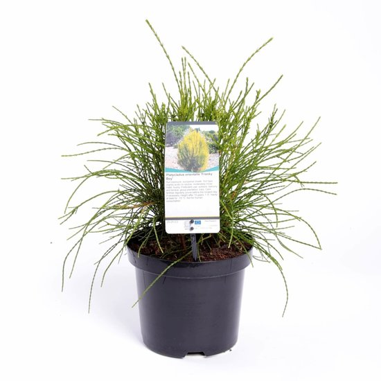 Platycladus orientalis Franky Boy - total height 40-50 cm - pot 3 ltr