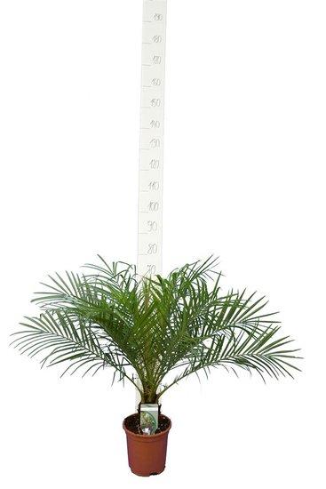 Phoenix roebelenii trunk 5-10 cm - total height 60-80 cm - pot Ø 20 cm