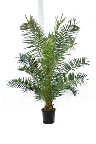 Phoenix canariensis - total height 200+ cm - pot Ø 35 cm [pallet]