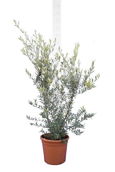 Olea europaea Wild Form - total height 170-190 cm - pot Ø 26 cm