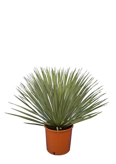 Yucca rostrata - set of 3 - total height 70-90 cm - pot 26 cm