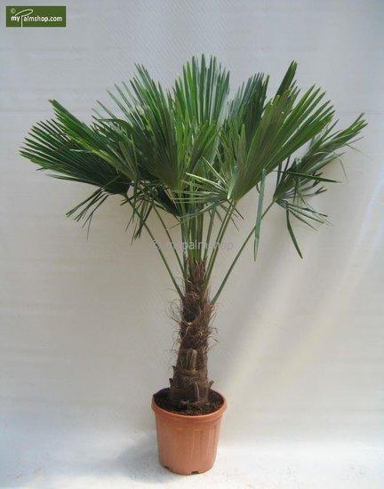 Trachycarpus fortunei trunk 60-70 cm [pallet]