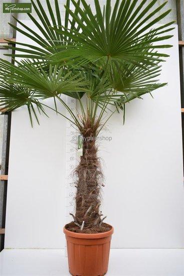 Trachycarpus fortunei trunk 100-120 cm [pallet]