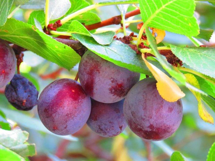 Prunus domestica pot Ø 26 cm
