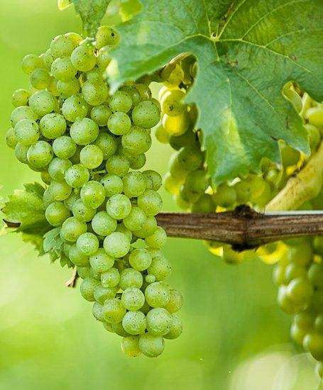 Vitis vinifera - pot Ø 37 cm