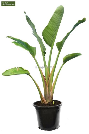 Strelitzia nicolai -  total height 160-180 cm - pot Ø 38 cm [pallet]
