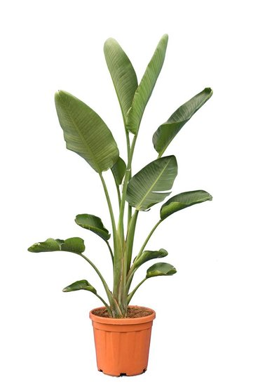 Strelitzia nicolai - total height 160-180 cm - pot Ø 36 cm - 2 plants in a pot [pallet]
