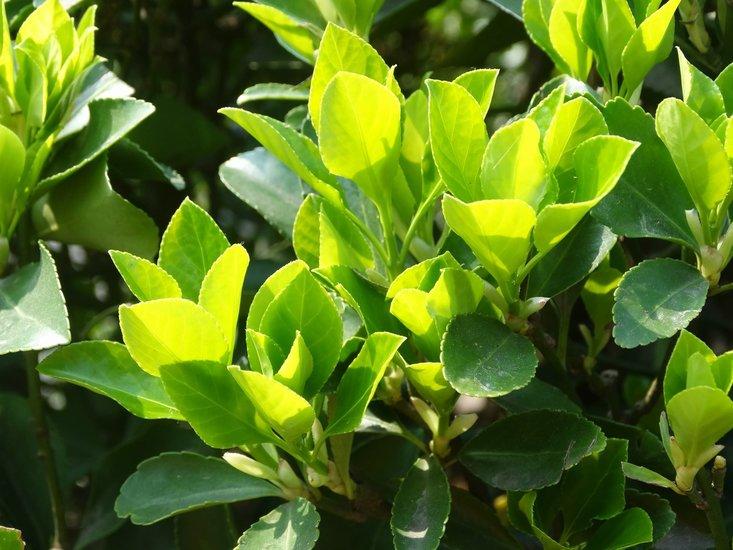 Camellia chinensis pot Ø 23 cm total height 100-120 cm