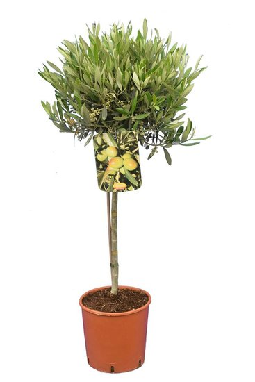 Olea europaea sphere form trunk height 40-60 cm trunk circumference 8-12 cm