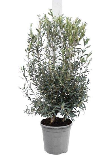 Olea europaea shrub pot Ø 33 cm