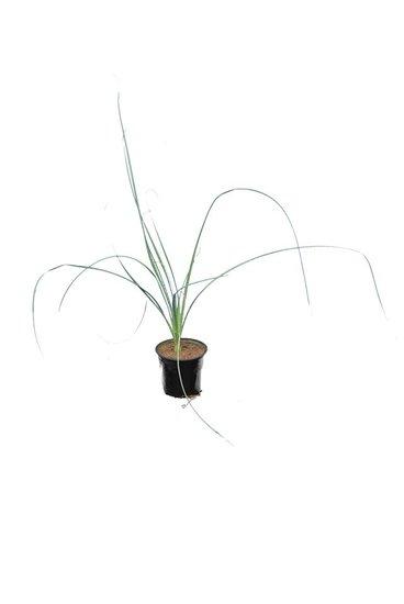 Dasylirion cedrosanum pot Ø 12 cm