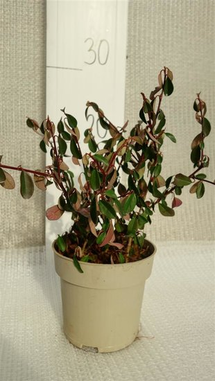 Cotoneaster dammeri Eichholz pot Ø 11 cm