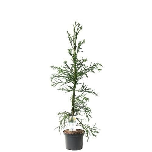 Cryptomeria japonica Rasen - total height 100-120 cm - pot 5 ltr