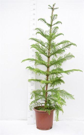 Araucaria heterophylla pot Ø 32 cm [pallet]