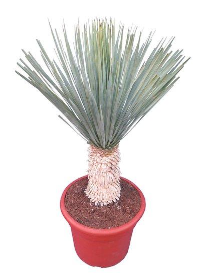 Yucca rostrata - trunk 25-30 cm - pot Ø 38 cm