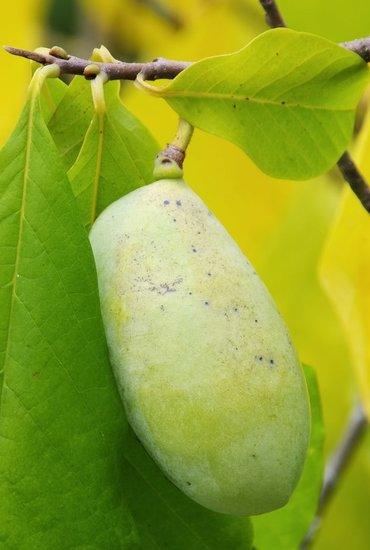 Asimina triloba Mango - total height 60-80 cm - 2 ltr pot