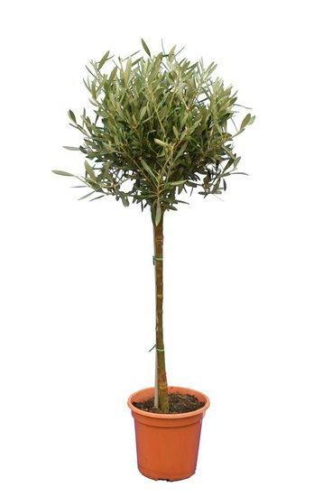 Olea europaea sphere form trunk height 60-80 cm trunk circumference 8-12 cm pot Ø 23 cm