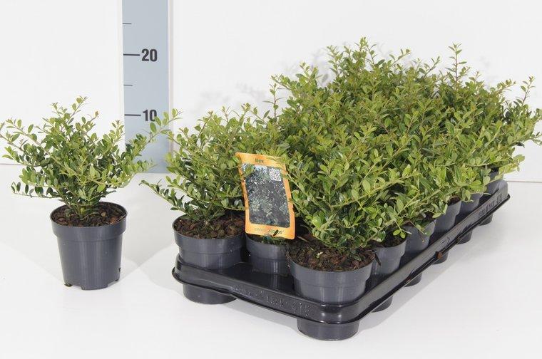Ilex crenata 'Stokes' pot 0.5 ltr - 50 pcs + 20 liter soil + 1 kg fertilizer