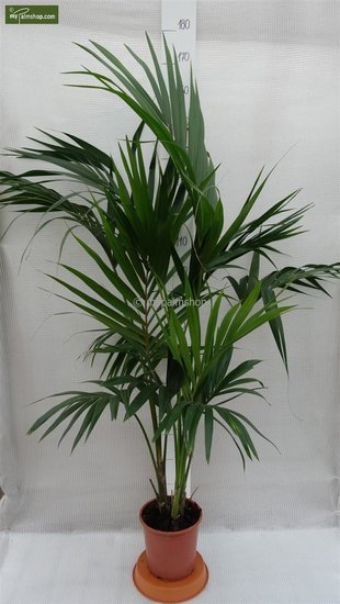 Howea forsteriana - total height 130-150 cm - pot Ø 20 cm