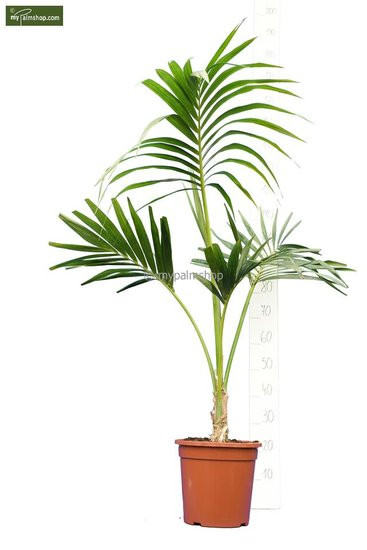 Howea forsteriana singletrunk - total height 120-140 cm - pot Ø 28 cm