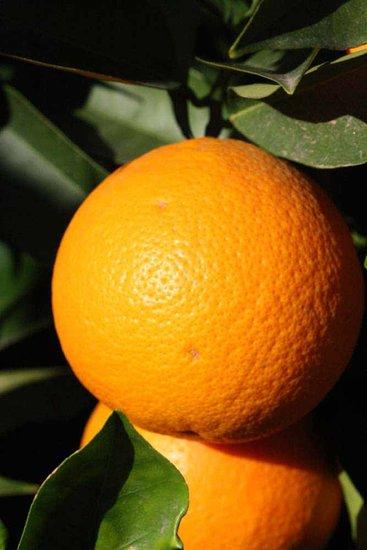 Citrus sinensis - total height 140-160 cm - pot Ø 26 cm