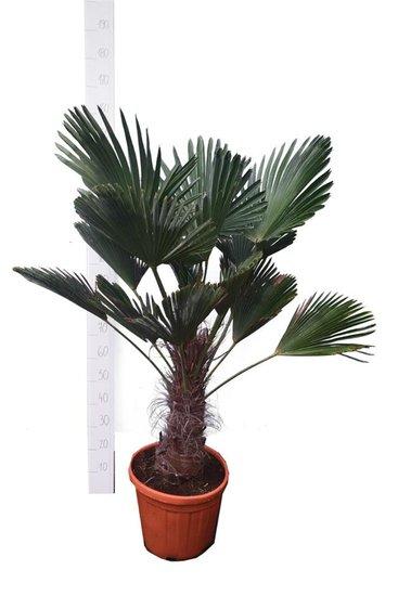 Trachycarpus wagnerianus trunk 30-40 cm - total height 110-130 cm - pot Ø 35 cm