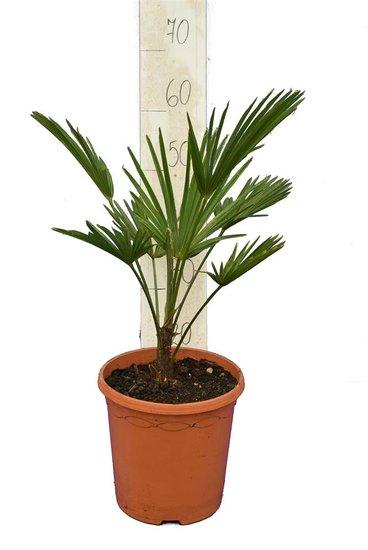 Trachycarpus wagnerianus - total height 50-70 cm - pot Ø 23 cm