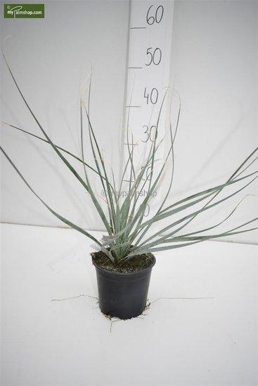 Dasylirion wheelerii - total height 30-40 cm - pot Ø 13 cm