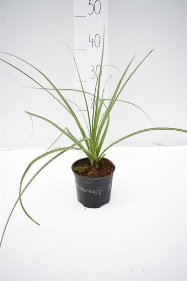 Dasylirion miquihuanensis - total height 30-40 cm - pot Ø 13 cm