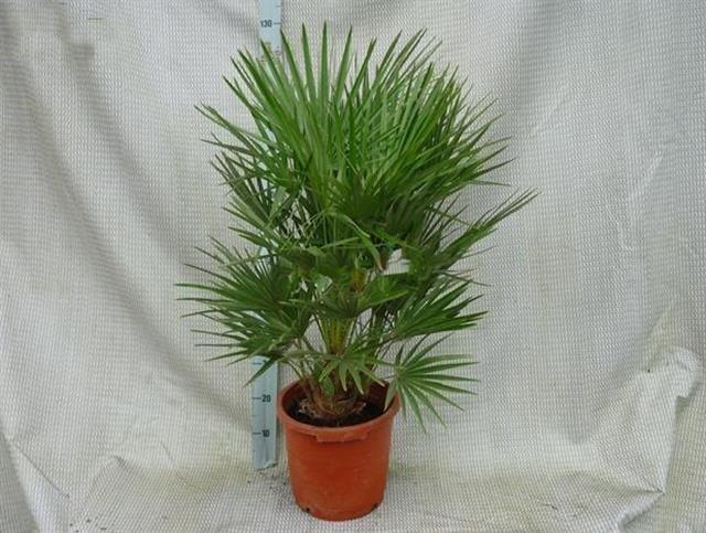 Chamaerops humilis - trunk 15-20 cm - total height 110-120 cm - pot Ø 30 cm