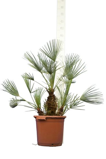 Chamaerops humilis Cerifera - trunk 20-30 cm - total height 100-120 cm - pot Ø 40 cm [pallet]