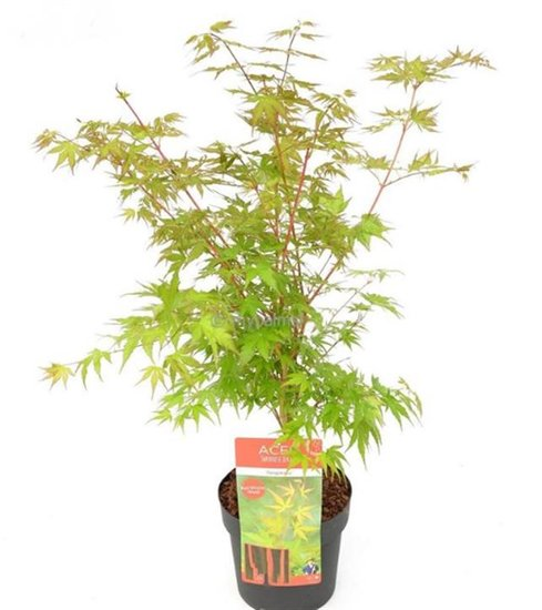 Acer palmatum Sangokaku - total height 60-80 cm - pot 3 ltr