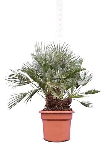 Chamaerops humilis Cerifera - trunk 20-30 cm - total height 110-130 cm - pot Ø 50 cm [pallet]